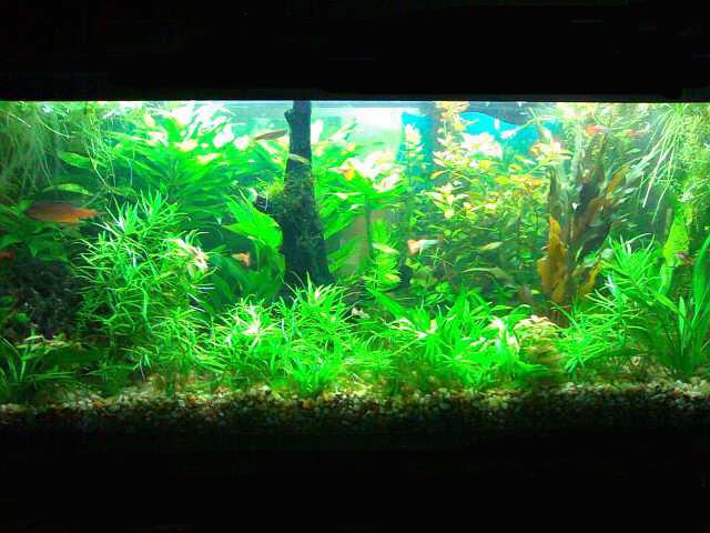 Plantas para peceras imagui for Plantas de acuario
