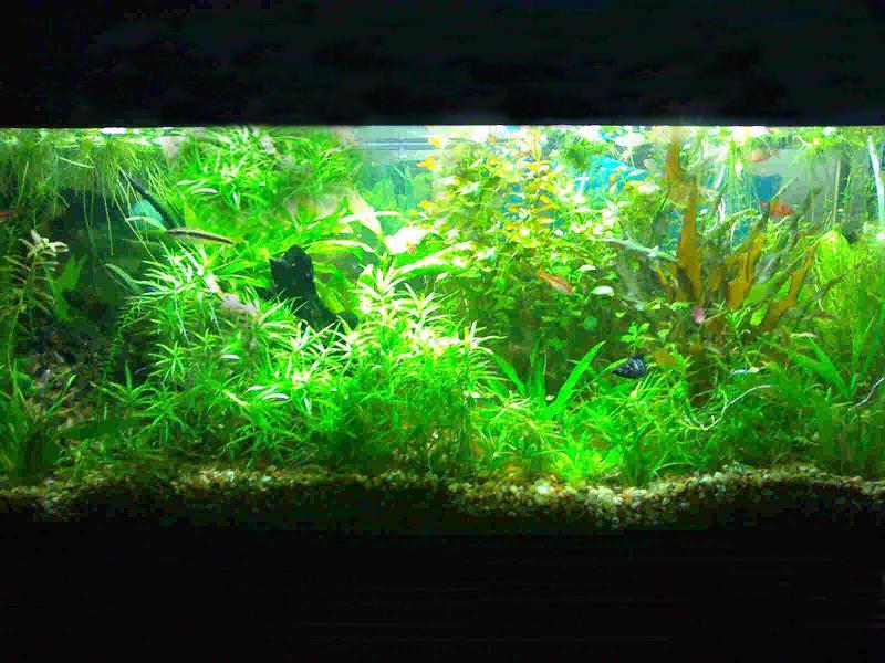 Fotos de acuarios plantados for Plantas de acuario
