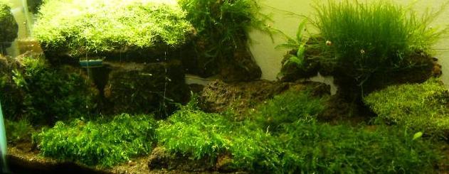 Musgos acuaticos Plantasdeacuarioscom Especialistas en plantas