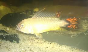 Apistogramma cacatuoides Gold-Red