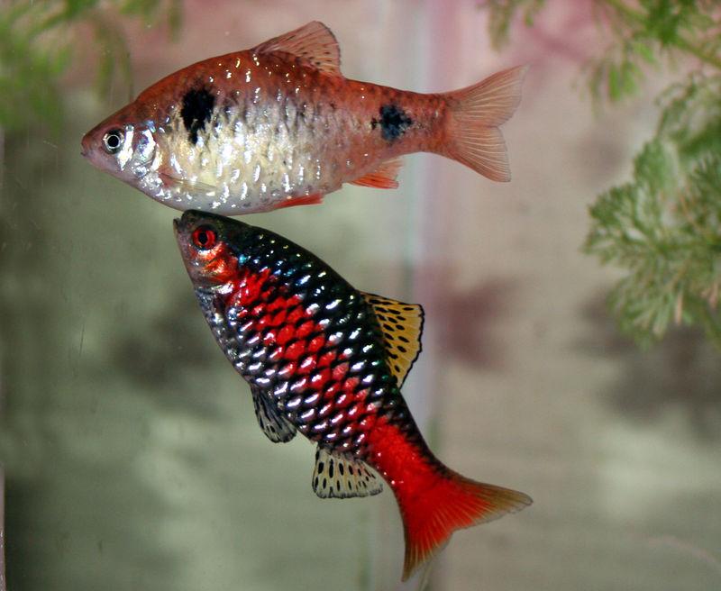 Cyprinidae: Barbus