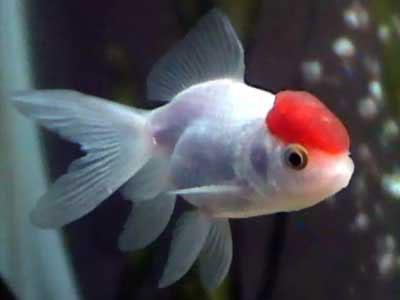 Duda alimentacion boina rojo portalpez acuarios for Peces que no necesitan oxigeno