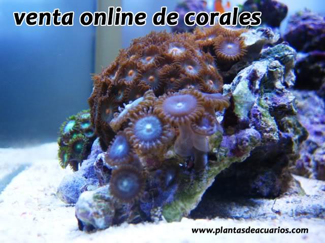 Corales marinos for Peces de acuario marino