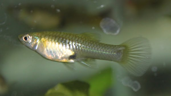 Guppy endlers hembra