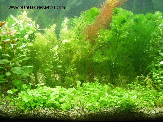 Plantas cesped acuarios plantas tapizantes acuaticas for Plantas de acuario