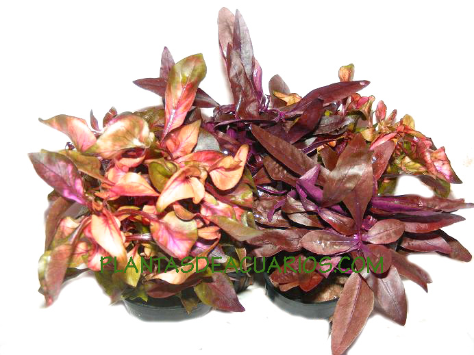 Plantas Rojas Acuarios